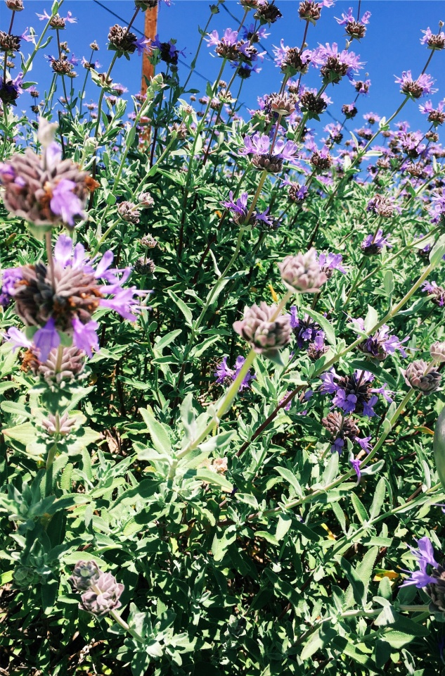 { purple sage from my parents yard }